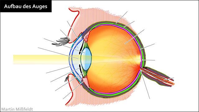 ▷ Aufbau des menschlichen Auges - Lasikon
