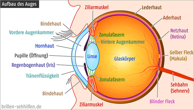 Aufbau Des Menschlichen Auges Lasikon